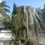 Palma infetta da Punteruolo Rosso
